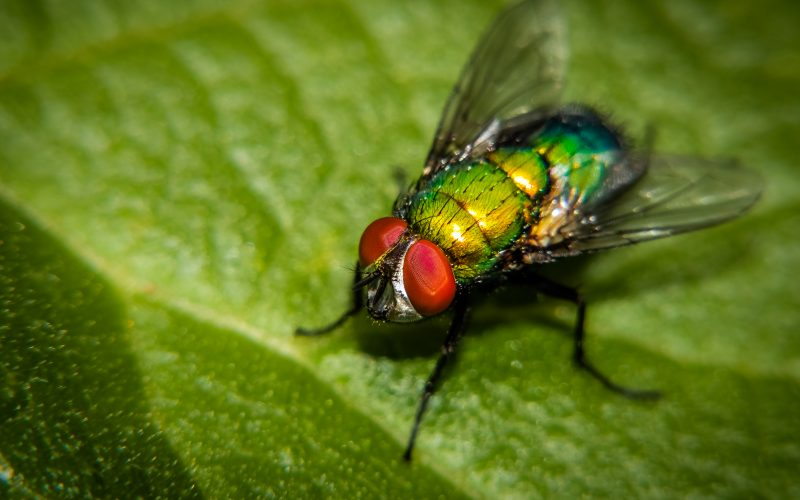Common green bottle fly on a green leaf.