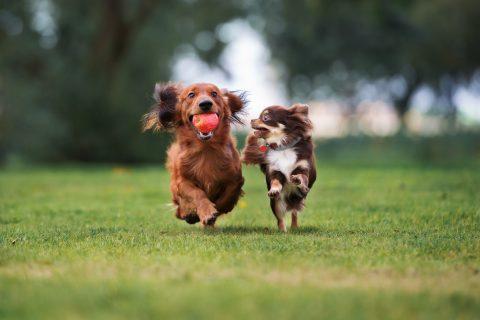 Two small dogs are running on grass.