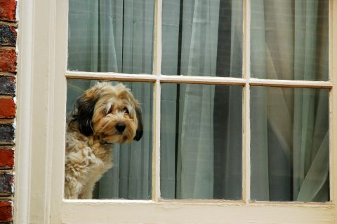 A dog stares outside the window.
